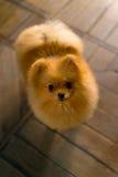 Perrito un perro de Pomerania-perro que miente en el piso que mira para arriba imágenes de archivo libres de regalías