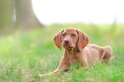Perrito viejo de diez semanas del perro del vizsla en el más forrest Imagen de archivo libre de regalías