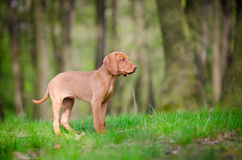 Perrito viejo de diez semanas del perro del vizsla en el más forrest Fotografía de archivo