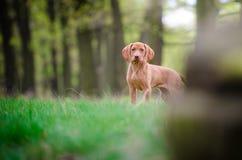 Perrito viejo de diez semanas del perro del vizsla en el más forrest de tiempo de primavera Fotos de archivo libres de regalías