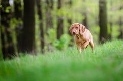 Perrito viejo de diez semanas del perro del vizsla en el más forrest de tiempo de primavera Imágenes de archivo libres de regalías