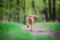 Perrito viejo de diez semanas del perro del vizsla que corre en el más forrest Foto de archivo libre de regalías