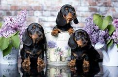 Perrito y flores del perro basset imagen de archivo libre de regalías