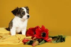 Perrito y flores rojas de los tulipanes Fotos de archivo libres de regalías