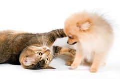 Perrito y gato en estudio foto de archivo