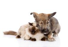 Perrito y gato mezclados de la raza junto Aislado en el fondo blanco Imagen de archivo libre de regalías