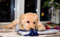 Perrito y la Navidad 2 Fotos de archivo libres de regalías