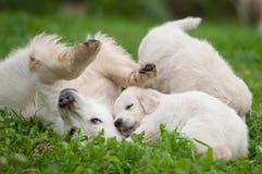 Perrito y mamá del golden retriever Fotografía de archivo libre de regalías