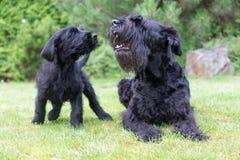 Perrito y perro adulto del descortezamiento del perro negro gigante del Schnauzer Fotografía de archivo libre de regalías