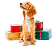 Perrito y regalos Imágenes de archivo libres de regalías