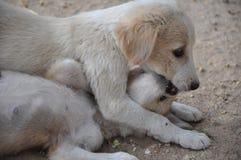 perritos Imagen de archivo libre de regalías