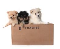 Perritos adorables de Pomeranian en una caja de cartón Fotos de archivo libres de regalías