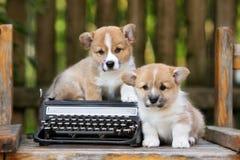 Perritos adorables del corgi galés al aire libre fotografía de archivo
