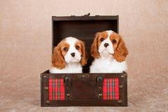 Perritos arrogantes de rey Charles Spaniel que se sientan dentro de pecho de madera con la tela escocesa de tartán roja Imagen de archivo