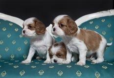 Perritos arrogantes del perro de aguas de rey Charles Foto de archivo libre de regalías