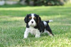 Perritos arrogantes del perro de aguas de rey Charles Imagen de archivo libre de regalías