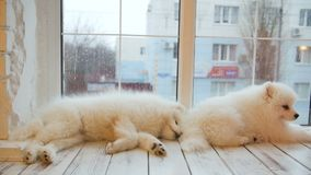 Perritos cansados del samoyedo el dormir que mienten en el piso metrajes