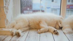 Perritos cansados del samoyedo el dormir que mienten en el piso almacen de metraje de vídeo