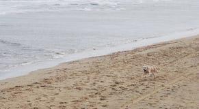 Perritos cariñosos de Labrador Foto de archivo
