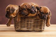 Perritos, cesta de mimbre Fotos de archivo libres de regalías