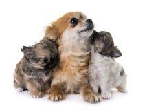 Perritos chihuahua y madre fotos de archivo libres de regalías