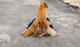 Perritos de alimentación del perro femenino Fotografía de archivo libre de regalías