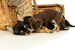 Perritos de alimentación de la chihuahua del perro de la madre Foto de archivo libre de regalías