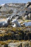 Perritos de Grey Seal Foto de archivo libre de regalías