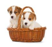 Perritos de Jack Russell Terrier que se sientan en una cesta fotografía de archivo libre de regalías