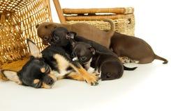 Perritos de la chihuahua que chupan la leche de madre Fotografía de archivo libre de regalías