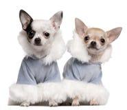 Perritos de la chihuahua vestidos en equipos azules del invierno Fotografía de archivo libre de regalías