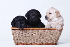 Perritos de Labrador Imagen de archivo libre de regalías