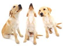 Perritos de Labrador Fotografía de archivo
