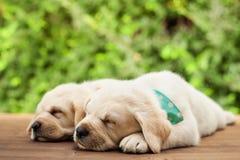 Perritos de Labrador que mienten de lado a lado, durmiendo en cubierta de madera fotos de archivo libres de regalías