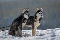 perritos de los turistas que esperan de la perrera del husky siberiano para tomar imágenes imagenes de archivo