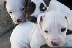 Perritos de Pitbull Imagen de archivo libre de regalías