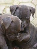 Perritos de Pitbull - Yup, su nariz es frío y mojado imágenes de archivo libres de regalías