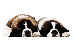 Perritos de St Bernard aislados en blanco Fotos de archivo