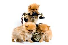 Perritos de un perro de Pomerania-perro con el teléfono Fotografía de archivo