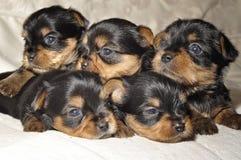 Perritos de Yorkshire Terrier Foto de archivo