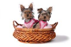 Perritos de Yorkshire Terrier vestidos para arriba en rosa Imágenes de archivo libres de regalías