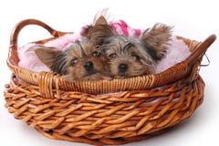 Perritos de Yorkshire Terrier vestidos para arriba en rosa Foto de archivo libre de regalías