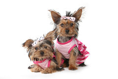Perritos de Yorkshire Terrier vestidos para arriba en rosa Imagenes de archivo