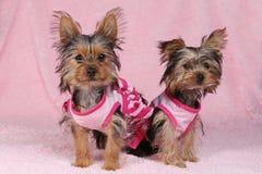 Perritos de Yorkshire Terrier vestidos para arriba en rosa Fotografía de archivo libre de regalías