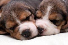 Perritos del beagle Imagen de archivo libre de regalías
