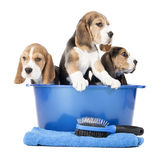 Perritos del beagle Foto de archivo
