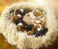 Perritos del beagle el dormir imagen de archivo libre de regalías