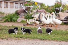 Perritos del border collie que juegan afuera en la granja Fotografía de archivo