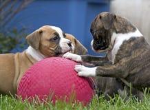 Perritos del boxeador que juegan con la bola roja Fotografía de archivo libre de regalías