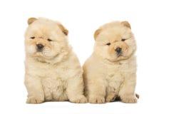 Perritos del chow-chow Imagen de archivo libre de regalías